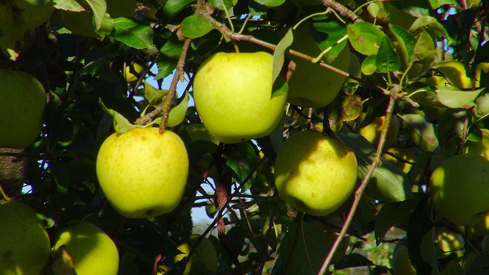 Golden Yellow Apples at Virginia Perfection Orchard