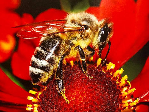 Adopt-A-Queen, Valley View Farms - Yellow Bee on Red Flowers